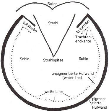 Anatomie des Hufs